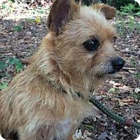 Adopt A Pet :: Terri - Brattleboro, VT