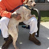 Labrador Retriever Mix Dog for adoption in North Brunswick, New Jersey - Farrah