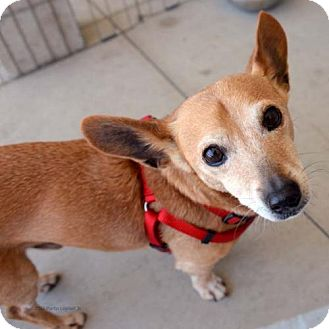 Chihuahua/Dachshund Mix Dog for adoption in San Diego, California - Pelchie