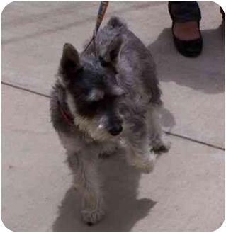 Schnauzer (Miniature) Dog for adoption in Riverside, California - Schnoozer