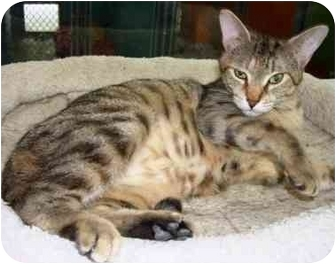 Domestic Shorthair Cat for adoption in Easley, South Carolina - Nibbs