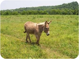 Donkey/Mule/Burro/Hinny Mix for adoption in Lyles, Tennessee - Phil