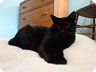 Domestic Shorthair Cat for adoption in Cambridge, Ontario - Monty