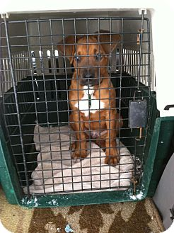 Boxer Mix Puppy for adoption in Morgantown, West Virginia - Luther