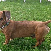 Adopt A Pet :: Schnitzel - Toronto, ON