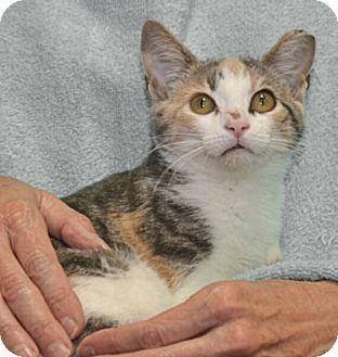 Calico Kitten for adoption in Reston, Virginia - Claudia