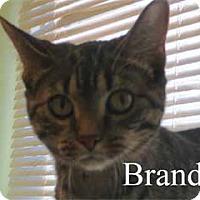 Domestic Shorthair Kitten for adoption in Warren, Pennsylvania - Brandi