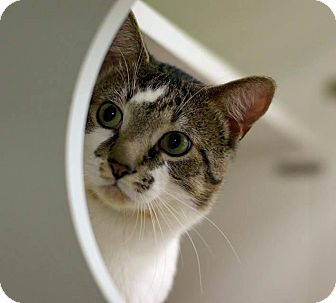 Domestic Shorthair Cat for adoption in Troy, Michigan - Mooch