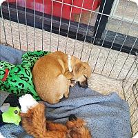 Adopt A Pet :: Honey - Brownsville, TX