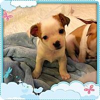 Adopt A Pet :: Abby Cadabby - McKinney, TX