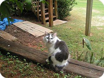 American Bobtail Cat for adoption in Winder, Georgia - *Bunny