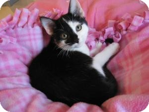 Domestic Shorthair Kitten for adoption in Eagan, Minnesota - Juneau