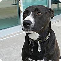 Adopt A Pet :: Basel - Birmingham, MI