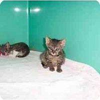 Adopt A Pet :: tiger - Secaucus, NJ