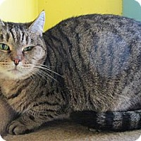 Domestic Shorthair Cat for adoption in Monroe, Connecticut - Little Tiger