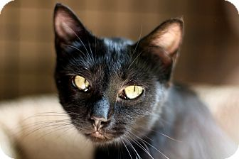 Domestic Shorthair Cat for adoption in New Prague, Minnesota - Memphis