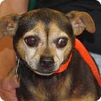 Chihuahua Dog for adoption in Longview, Washington - Sombrita
