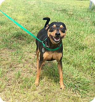 Miniature Pinscher Dog for adoption in Holland, Ohio - Jackie Allen