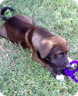 Labrador Retriever/Shepherd (Unknown Type) Mix Puppy for adoption in Woodward, Oklahoma - Dusty
