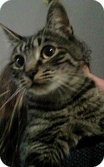 Domestic Shorthair Cat for adoption in Eureka, California - Abby