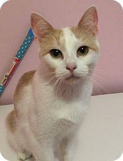 Domestic Shorthair Cat for adoption in THORNHILL, Ontario - Cheddar