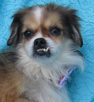 Pekingese Mix Dog for adoption in Cuba, New York - Dale Evans Drummer