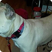 Presa Canario Dog for adoption in ROME, New York - Indira