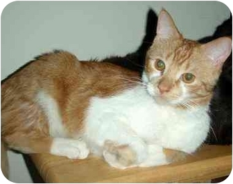 Domestic Shorthair Kitten for adoption in Hamilton, Ontario - Oliver