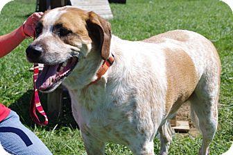 English (Redtick) Coonhound/Beagle Mix Dog for adoption in Elyria, Ohio - Stitch