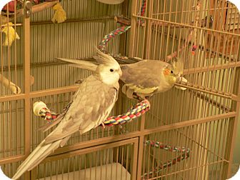 Cockatiel for adoption in Little Falls, New Jersey - Cinnamon & Frosty (KL)