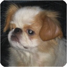 Japanese Chin Dog for adoption in Mays Landing, New Jersey - Cameron-NJ