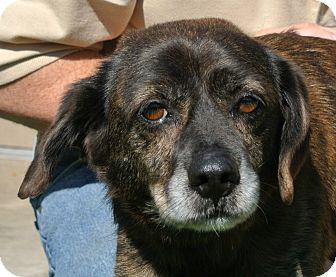 Beagle Mix Dog for adoption in white settlment, Texas - Sparky