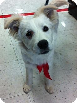 Golden Retriever/Labrador Retriever Mix Puppy for adoption in Studio City, California - Tom