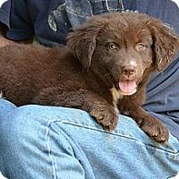 Adopt A Pet :: Benny - New Boston, NH
