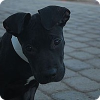 Adopt A Pet :: Batman - Scottsdale, AZ