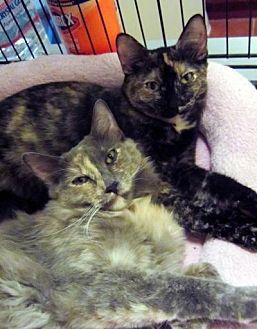 Domestic Longhair Cat for adoption in Long Beach, California - Calla