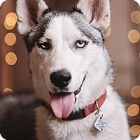 Adopt A Pet :: Ice - Portland, OR