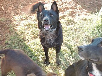 Border Collie/Australian Cattle Dog Mix Dog for adoption in Denver City, Texas - Nicholas