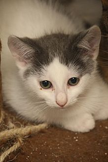 Domestic Mediumhair Kitten for adoption in Riverside, California - Hunter