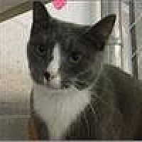 Domestic Shorthair Cat for adoption in Freeport, New York - Uno