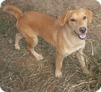 Golden Retriever/Labrador Retriever Mix Dog for adoption in East Hartford, Connecticut - Gypsy