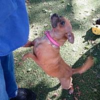 Adopt A Pet :: Honey - Bonney Lake, WA