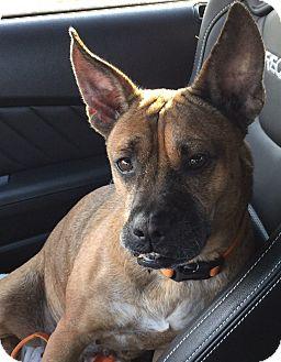 American Bulldog/Boston Terrier Mix Dog for adoption in San Francisco, California - Sunny