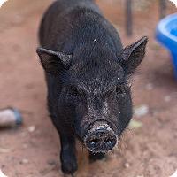 Adopt A Pet :: Pickles - Kanab, UT