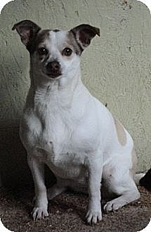 Terrier (Unknown Type, Medium)/Chihuahua Mix Dog for adoption in Templeton, California - Rover
