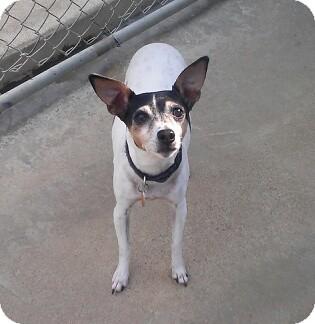 Rat Terrier Mix Dog for adoption in Richmond, Virginia - Trixie