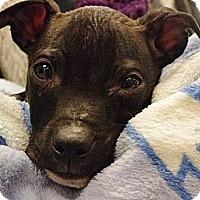 Adopt A Pet :: Zeus - Reisterstown, MD