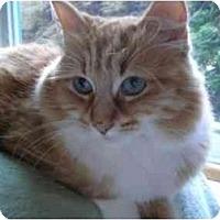 Adopt A Pet :: Bella (gorgeous!) - Portland, OR