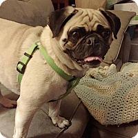 Adopt A Pet :: Bailey - Huntingdon Valley, PA