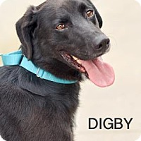 Labrador Retriever Mix Dog for adoption in West Des Moines, Iowa - Digby